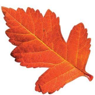 Осенний набор красный лист